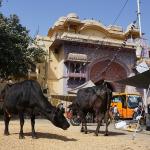 La place des animaux, notamment des vaches, est emblématique d'une dimension unique de la ville indienne
